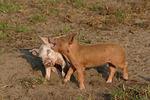 Ferkel / piglets