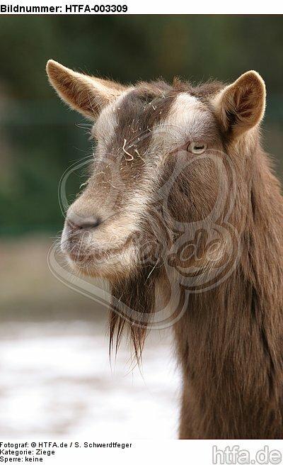 Th�ringerwald-Ziege / goat / HTFA-003309