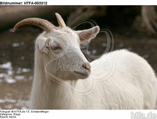Hausziege / goat / HTFA-003312