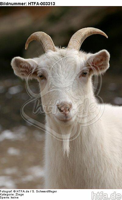 Hausziege / goat / HTFA-003313