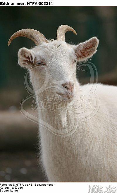 Hausziege / goat / HTFA-003314