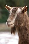 Th�ringerwald-Ziege / goat