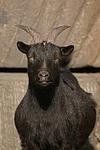 Zwergziege / pygmy goat