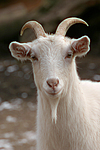 Hausziege / goat