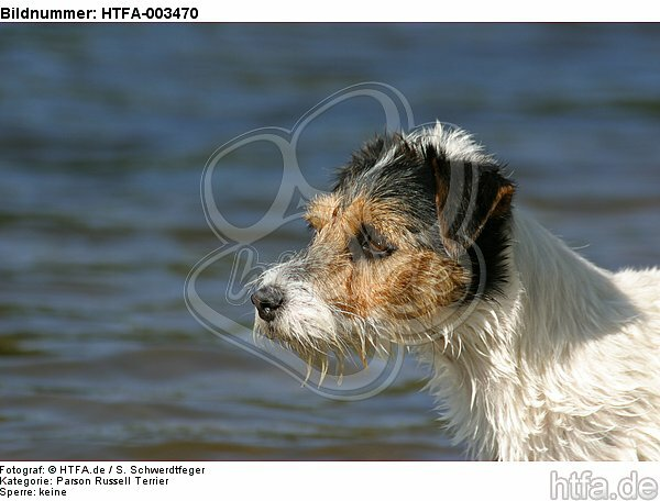 Parson Russell Terrier / HTFA-003470