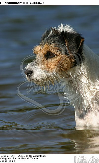 Parson Russell Terrier / HTFA-003471