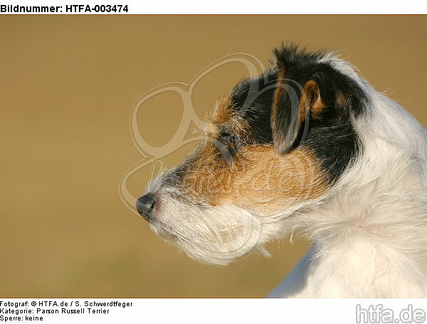 Parson Russell Terrier / HTFA-003474