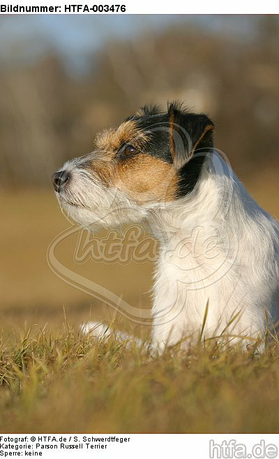 Parson Russell Terrier / HTFA-003476