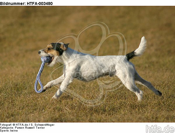 Parson Russell Terrier / HTFA-003480