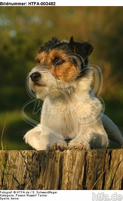 Parson Russell Terrier / HTFA-003482