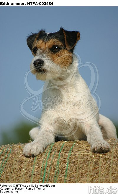 Parson Russell Terrier / HTFA-003484