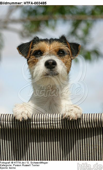 Parson Russell Terrier / HTFA-003485