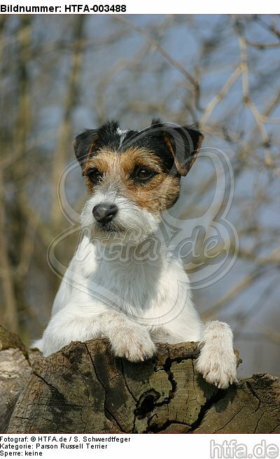 Parson Russell Terrier / HTFA-003488