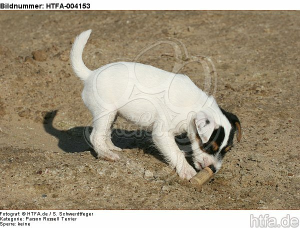 Parson Russell Terrier Welpe / parson russell terrier puppy / HTFA-004153