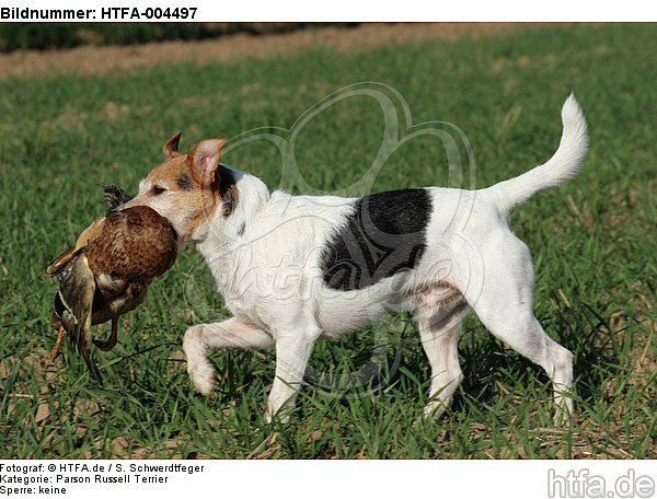 Parson Russell Terrier / HTFA-004497