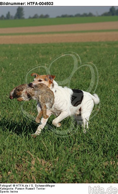 Parson Russell Terrier / HTFA-004503
