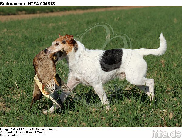 Parson Russell Terrier / HTFA-004513