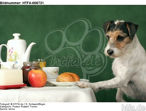 Parson Russell Terrier / HTFA-006731