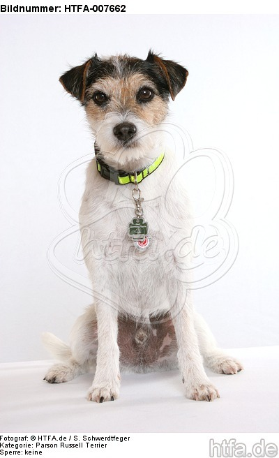 Parson Russell Terrier / HTFA-007662