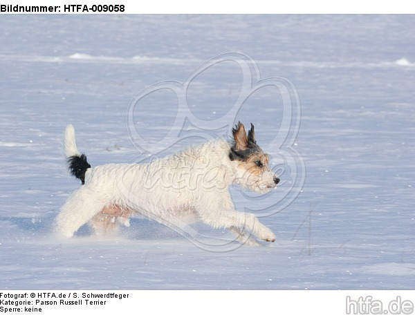 Parson Russell Terrier rennt durch den Schnee / prt running through snow / HTFA-009058