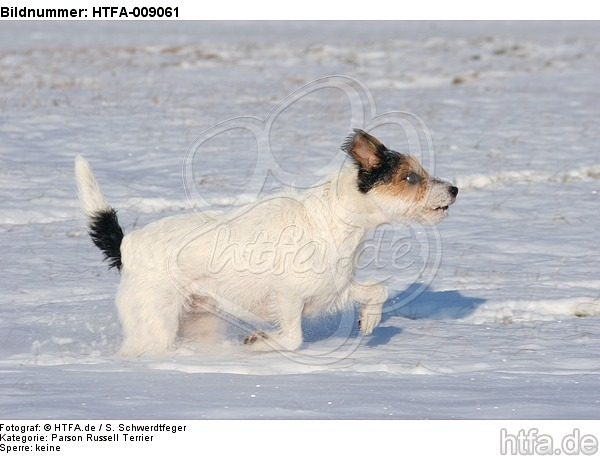Parson Russell Terrier rennt durch den Schnee / prt running through snow / HTFA-009061