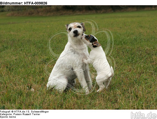 2 Parson Russell Terrier / HTFA-009826