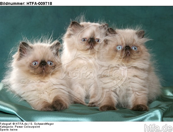 3 Perser Colourpoint K�tzchen / 3 persian colourpoint kitten / HTFA-009718