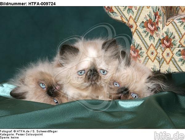 3 Perser Colourpoint K�tzchen / 3 persian colourpoint kitten / HTFA-009724