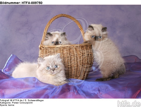 3 Perser Colourpoint K�tzchen / 3 persian colourpoint kitten / HTFA-009750