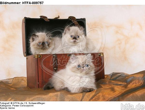 3 Perser Colourpoint K�tzchen / 3 persian colourpoint kitten / HTFA-009757