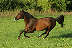 galoppierendes Warmblut / galloping warmblood