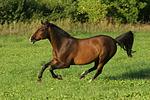 galoppierendes Warmblut / galloping warmblood