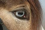 Deutsches Reitpony mit Fischauge / pony eye