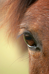 Deutsches Reitpony Auge / pony eye