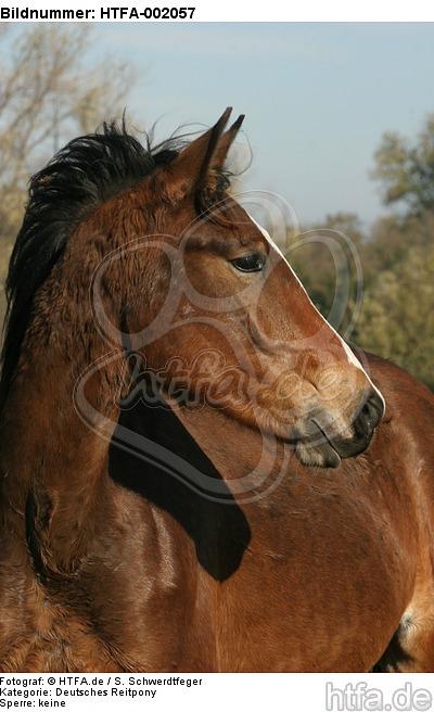 Deutsches Reitpony / pony / HTFA-002057