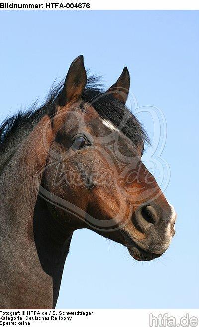 Deutscher Reitpony Hengst / pony stallion / HTFA-004676