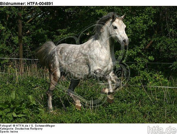 Deutsches Reitpony / pony / HTFA-004891