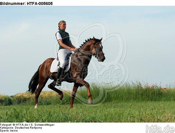 Deutscher Reitpony Hengst / pony stallion / HTFA-005605