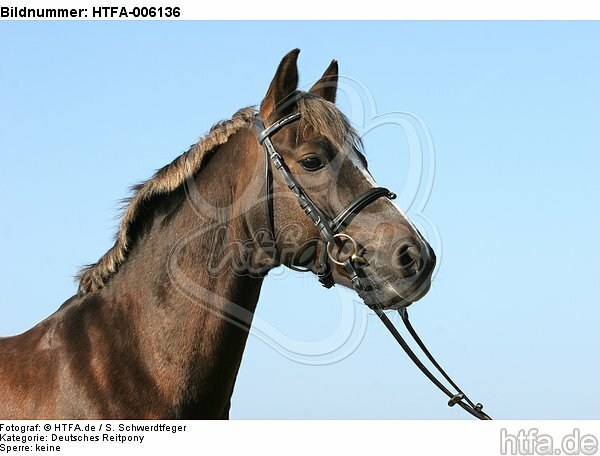 Deutscher Reitpony Hengst / pony stallion / HTFA-006136