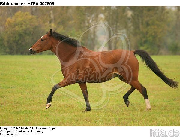 Deutsches Reitpony / pony / HTFA-007605