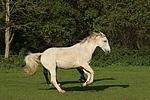 Sachsen Anhaltiner Warmblut / horses