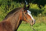 Deutsches Reitpony Portrait / pony portrait