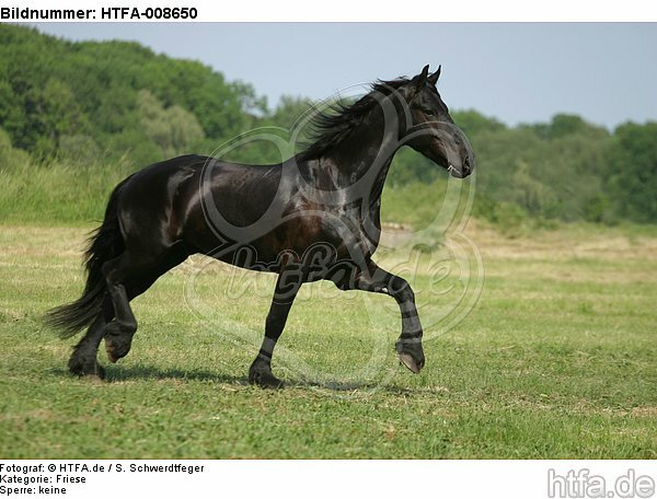 trabender Friese / trotting friesian horse / HTFA-008650