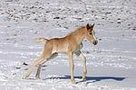 galoppierendes Haflinger Fohlen / galloping haflinger horse foal