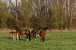 Pferdeherde / herd