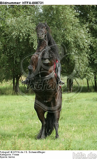 Frau reitet Friese / woman rides friesian horse / HTFA-008731