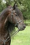 Friese Portrait / friesian horse portrait