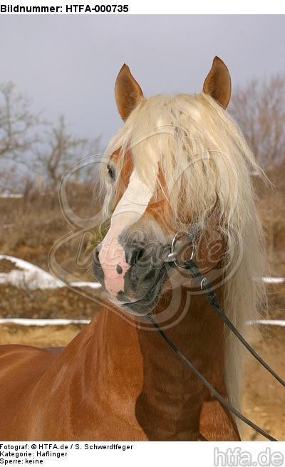 Haflinger Portrait / haflinger horse portrait / HTFA-000735