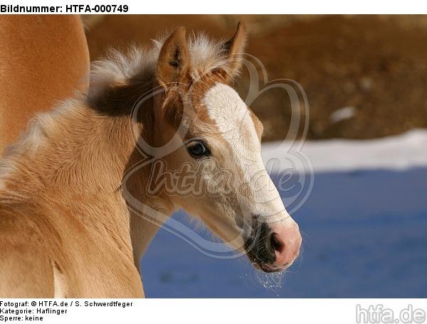 Haflinger Fohlen / haflinger horse foal / HTFA-000749