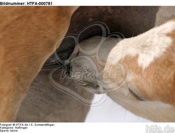 Haflinger Fohlen / haflinger horse foal / HTFA-000781
